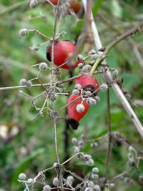 Podzim a šípkový keř k sobě patří