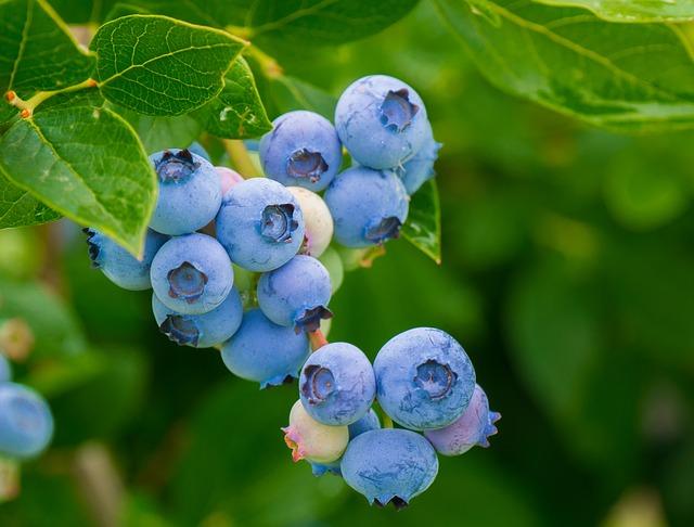 Lesní borůvky pomohou při léčbě cukrovky