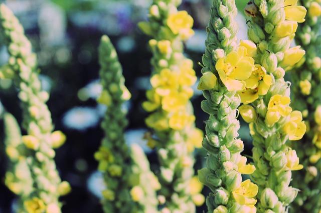 Divizna velkokvětá je kněžna mezi léčivými bylinkami