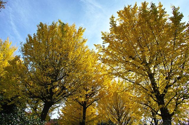 Proč je tak zajímavý strom ginkgo biloba, zvaný jinan dvoulaločný?