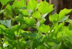 Libeček lékařský je bylinka na vaření, ale má i léčivé účinky při některých bolestech a nemocech