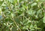 Majoránka je voňavá rostlinka do kuchyně i léčivá bylinka do čaje