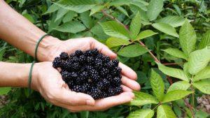 Lesní ostružiny , ostružník - přírodní lék na neduhy