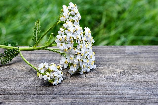 Nejstarší používaná bylina, která u nás patří k nejužívanější je řebříček obecný