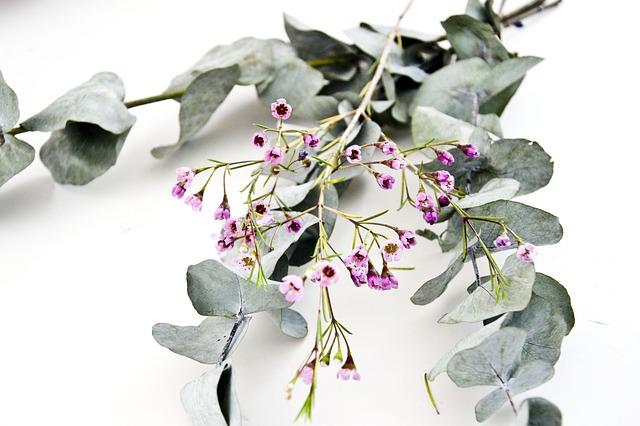 Co je to Rýmovník? Jedná se o řecký eukalyptus