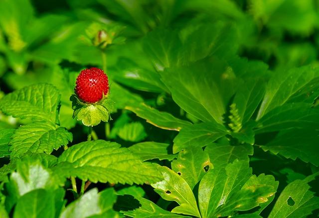 Jahodník obecný, obecný název pro lesní jahody