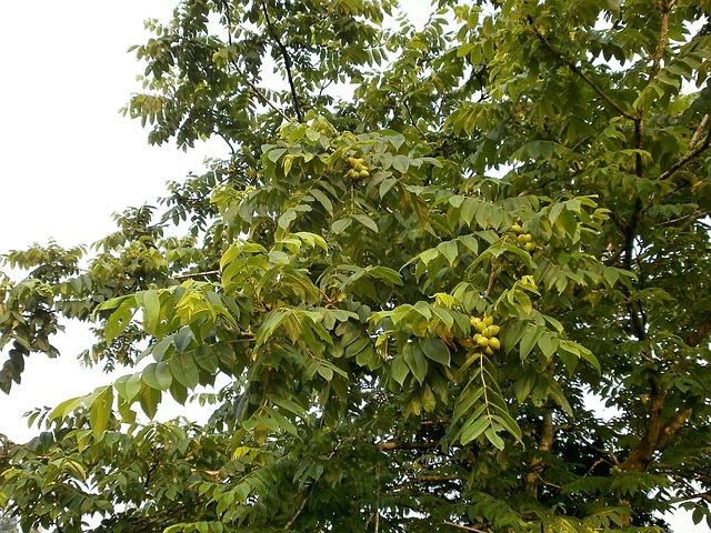 Jak využijeme ořešák královský? Použijeme vlašské ořechy, které mají hodně způsobů využití
