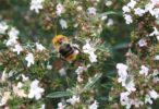 Malá, nenápadná rostlinka s výraznou krásnou vůní – Saturejka zahradní